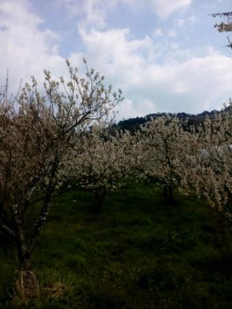 桜の花(さくらんぼの花)